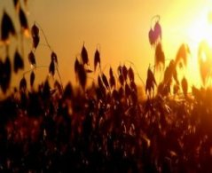 oats_grain_harvest_240753_l.jpg