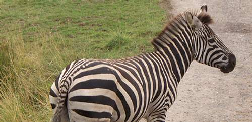 zebracrossing500