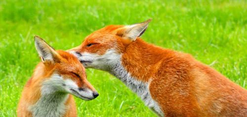 foxwhispers500